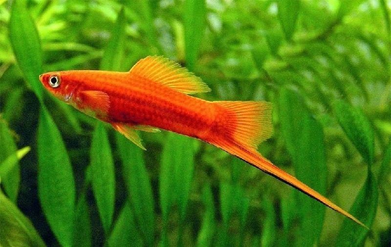 Gambar Ikan Ikan Pemakan Jentik Nyamuk - Ikan Swordtail