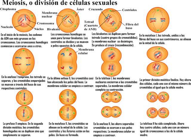 Meiosis La formación de gametos (células sexuales)