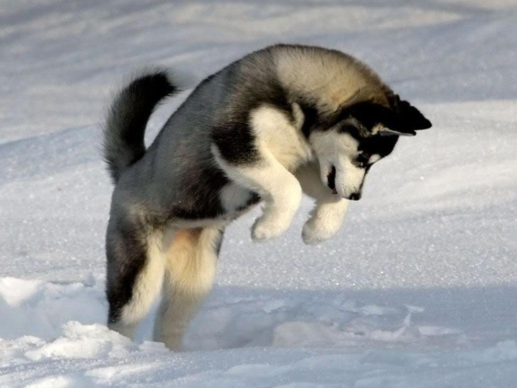 Siberian Husky | wallpaper