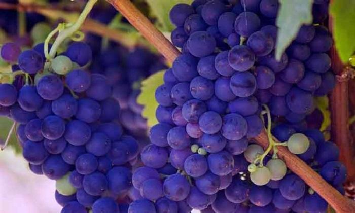 Kandungan Gizi Dan Manfaat Buah Anggur Bagi Kesehatan