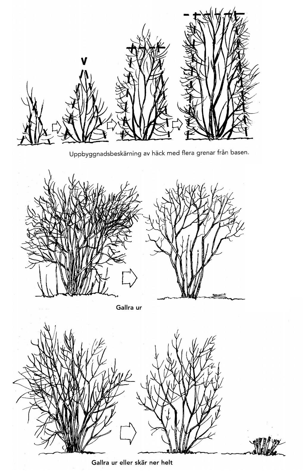 när beskära buskar