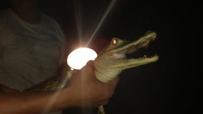 handling for caiman of the Amazon Rainforest