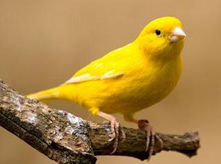 Cara melatih mental burung kenari agar kuat dan pemberani