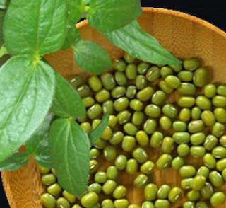 tanaman kacang hijau