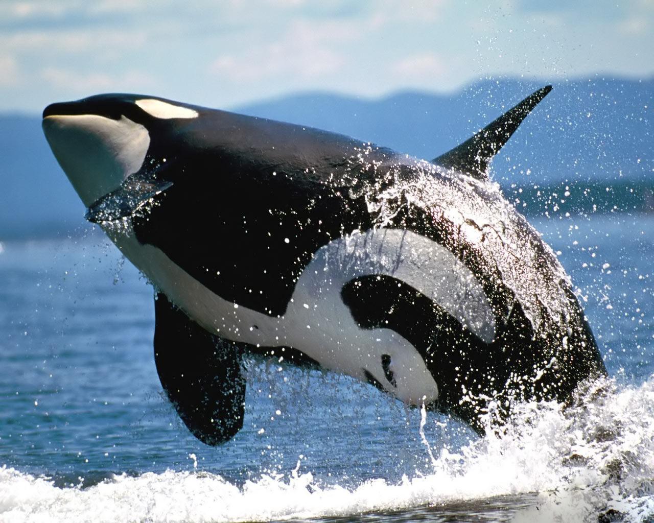 animals wildlife orca picture - photo #4
