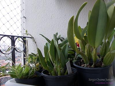 Orquídeas na varanda do apê