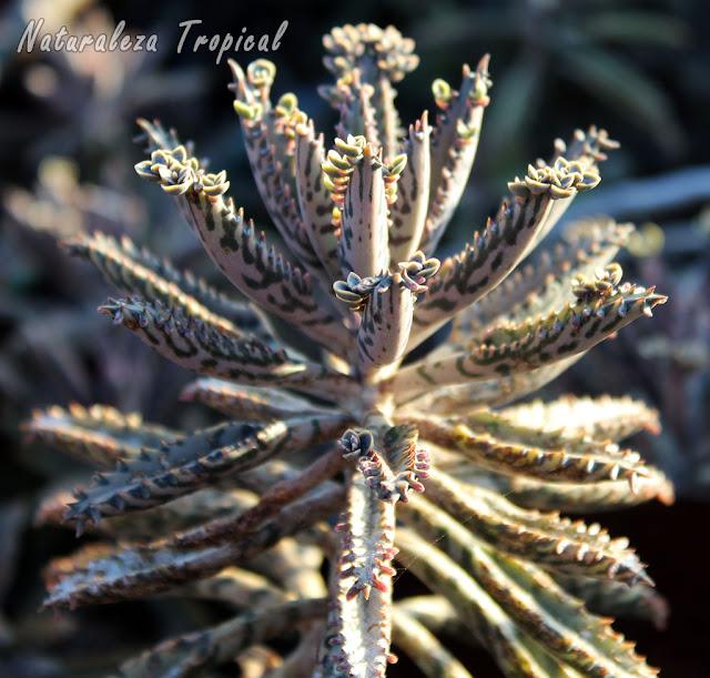 La planta suculenta Kalanchoe daigremontiana es ampliamente utilizada para el tratamiento de muchos tipos de cáncer