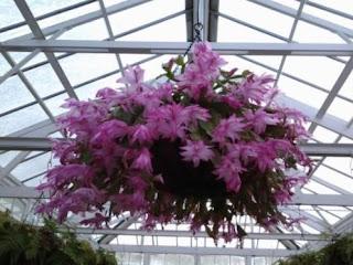 Zygo Cactus Plant