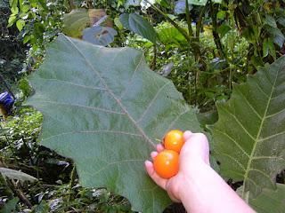 Hoja y fruto de lulo o naranjilla