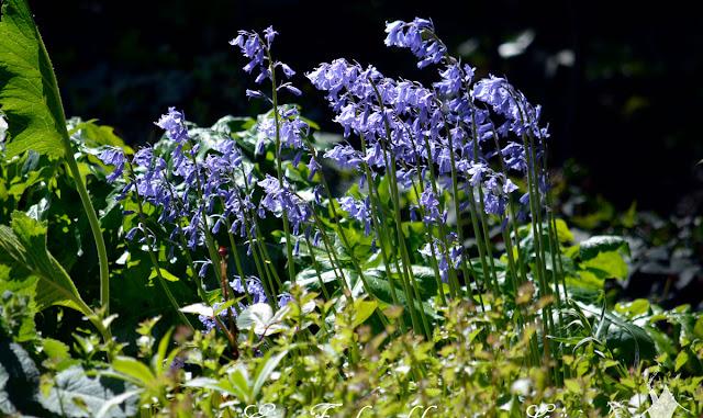 Die zarte Blume Hasenglöckchen