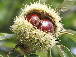 american chestnut fruit images