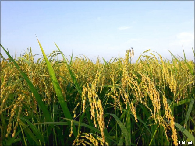 Hạt lúa Thái Bình