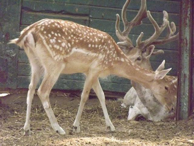 أيل أوروبي في حديقة الحيوان بالجيزة Giza Zoo