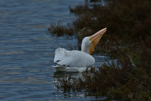 Great White Pelican Eating