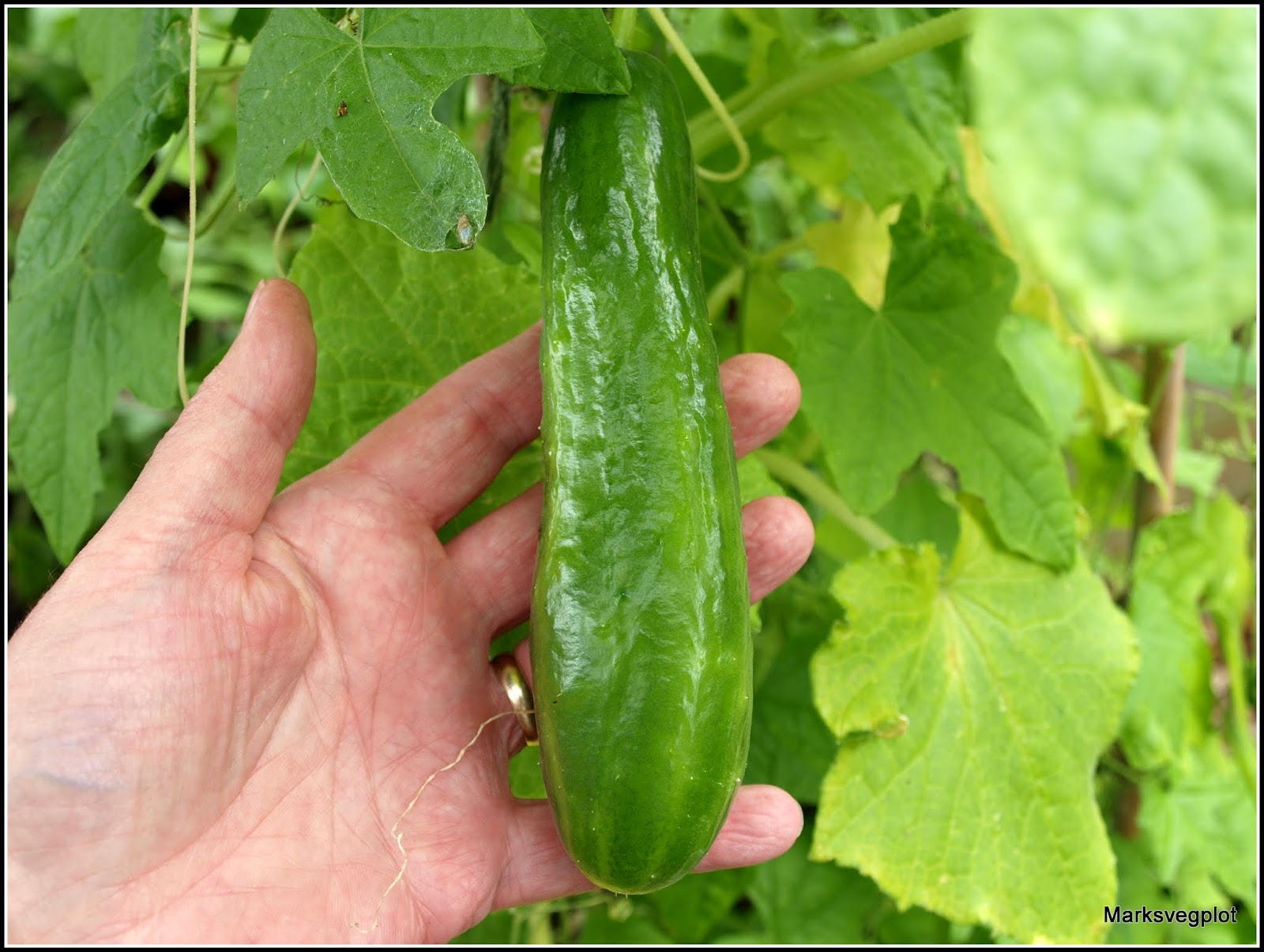 Why cucumbers have a lot of barren flowers: the main reasons 30