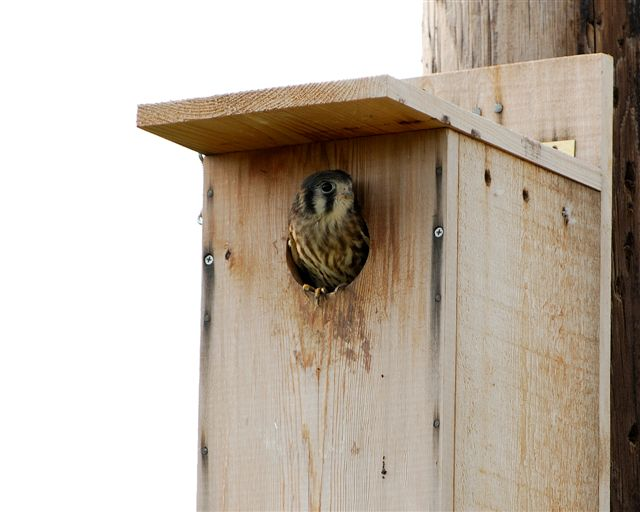 The Raptor Center: American Kestrel Next Boxes at TRC