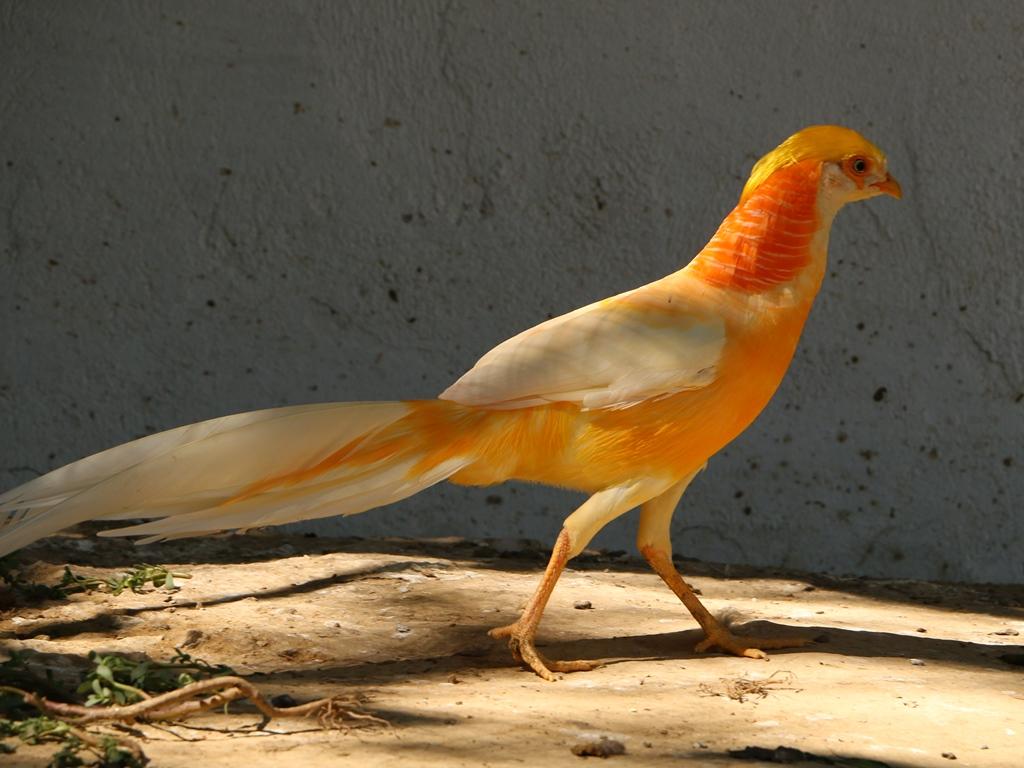 Золотой красный фазан Peach%2BYellow%2BGolden%2BPheasant%2B-%2B5