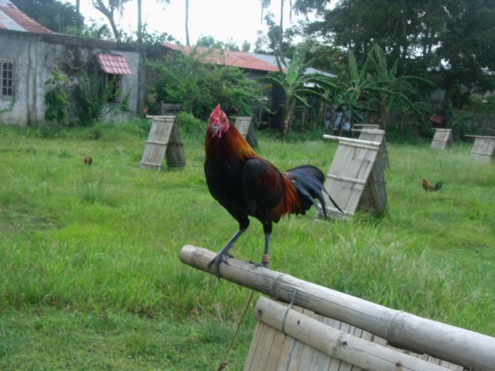SIMPLY BUSINESS: GAMEFOWL INDUSTRY BENEFITS SMALL BREEDERS