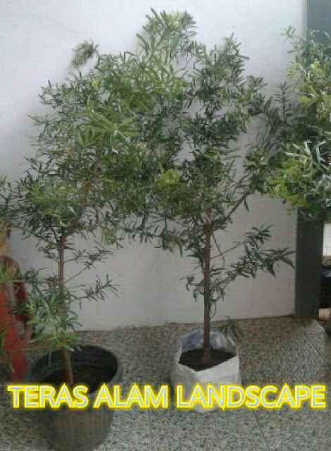 bibit tanaman bonsai lohansung
