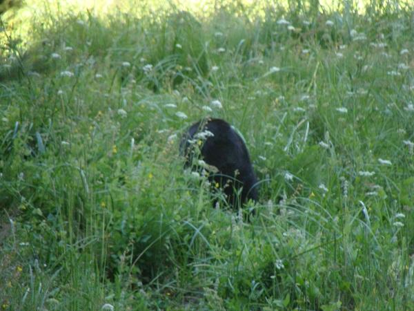 Ein Schwarzbär direkt vor uns in  Sequoia-Nationalpark