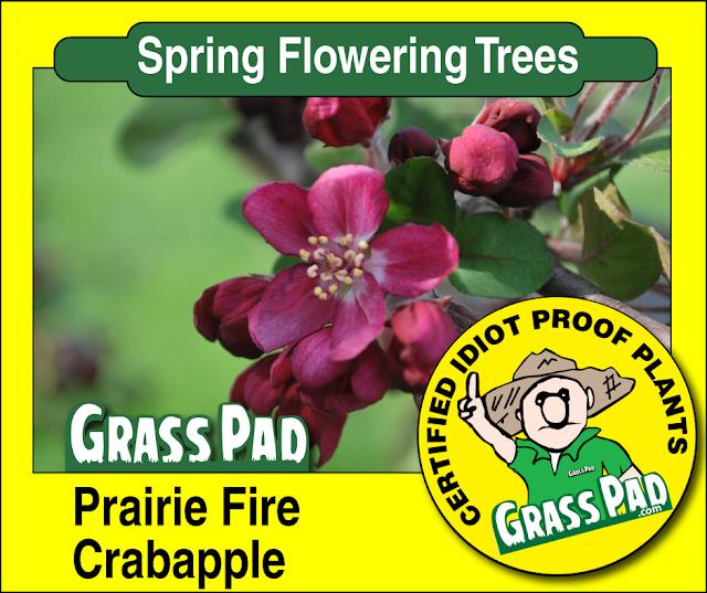 Prairie Fire Crabapple