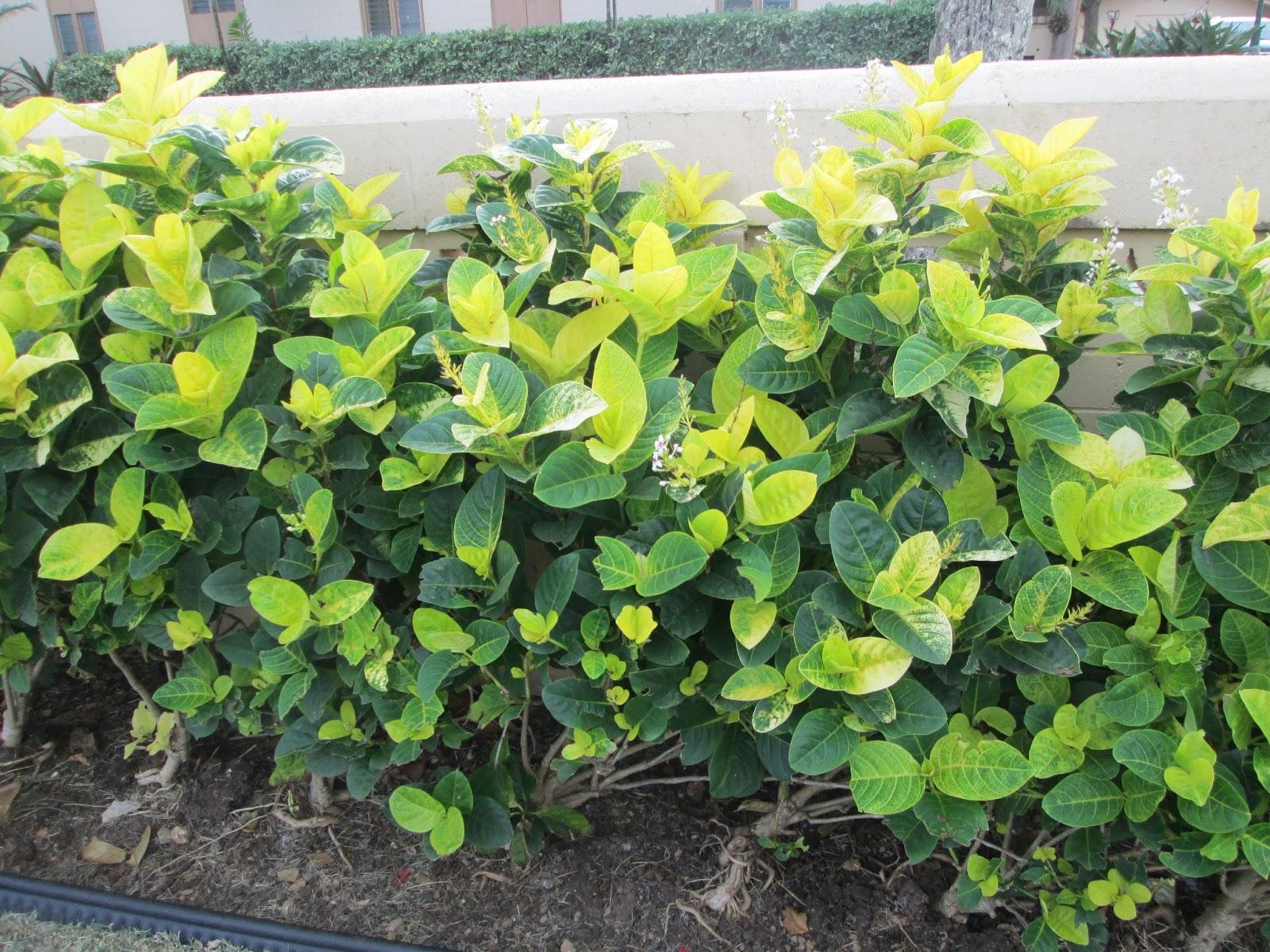 Garden Notes From Hawaii Golden Eldorado Pseuderanthemum