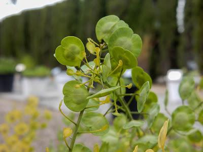 Thlaspi arvense, familia Brassicaceae