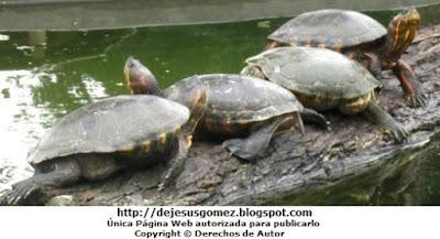 Foto de tortugas del Parque de las leyendas. Foto de tortugas de Jesus Gómez