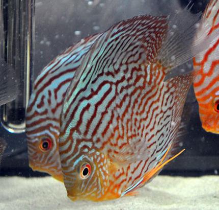 Pesci tropicali da colorare for Disegni da colorare pesci tropicali