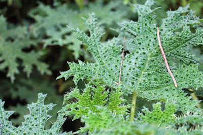 tanaman jancukan agropuro