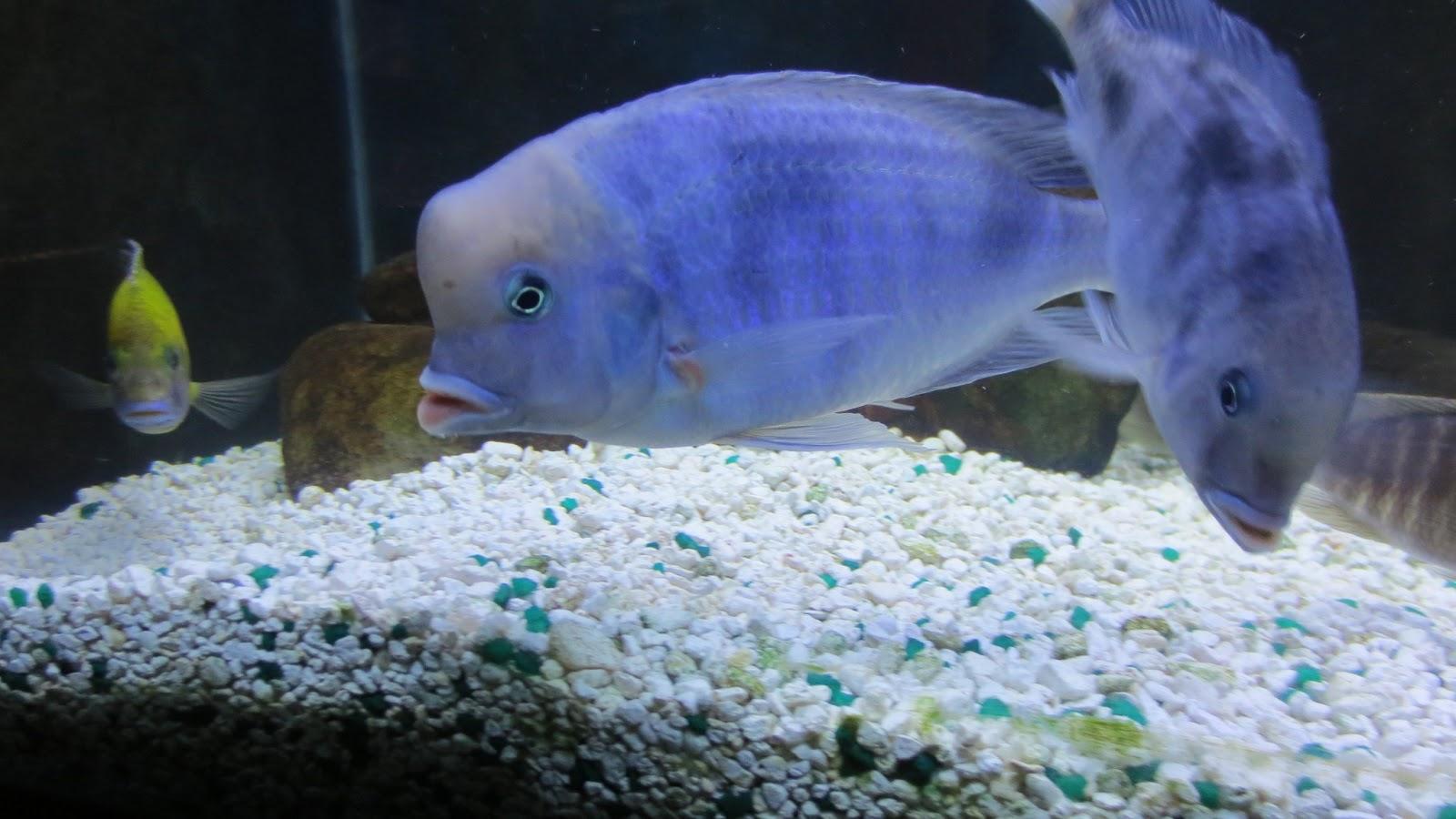 mal/tang fish: Cyrtocara moorii Blue Dolphin, 1-30-13