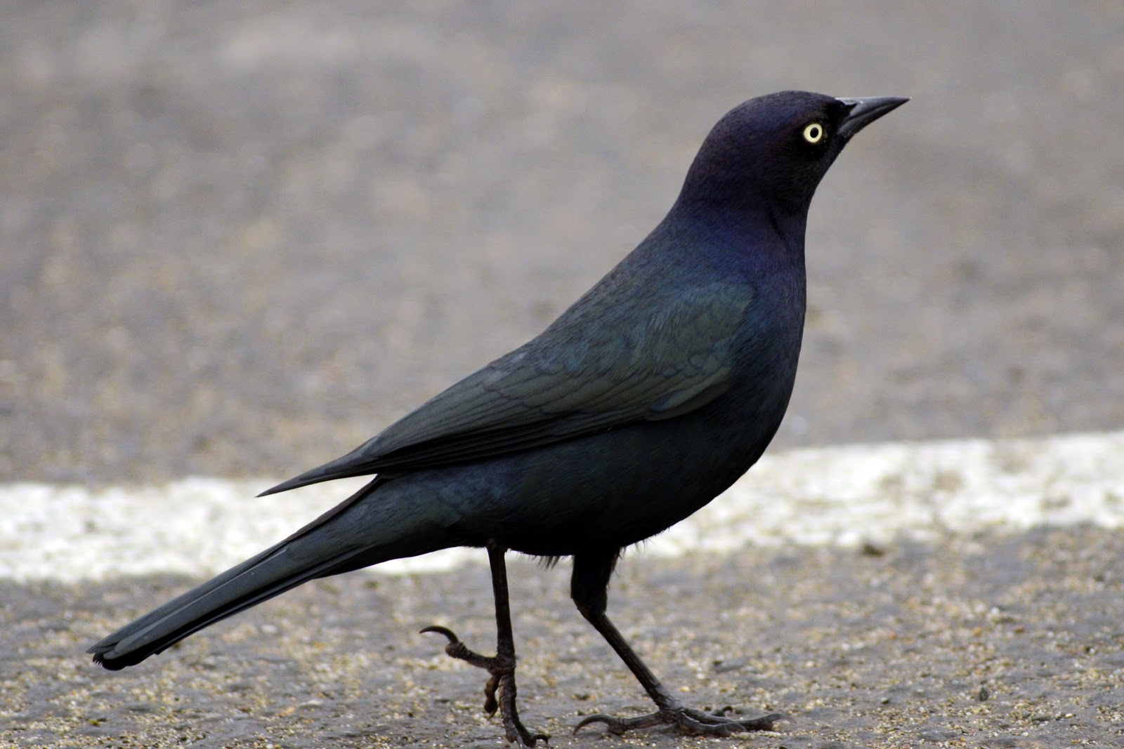 The Nature of Framingham: Those Cute Western Blackbirds