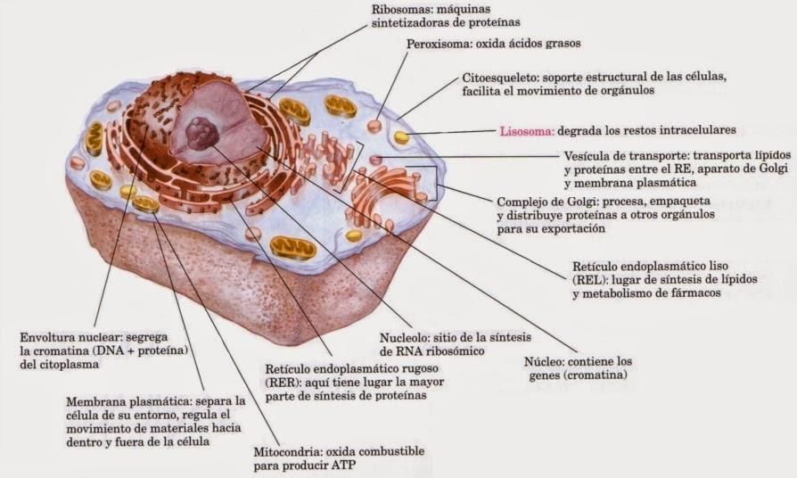 Biomedica La Celula Y Toda Su Estructura