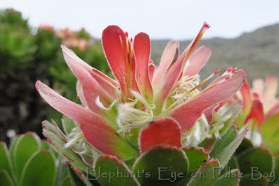 Mimetes flower