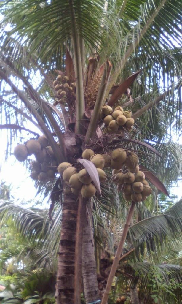Pohon Kelapa Kopyor Genjah Pati