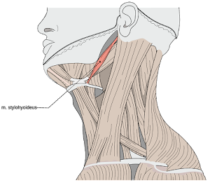 stylohyoid muscle, action, m. stylohyoideus muscle picture