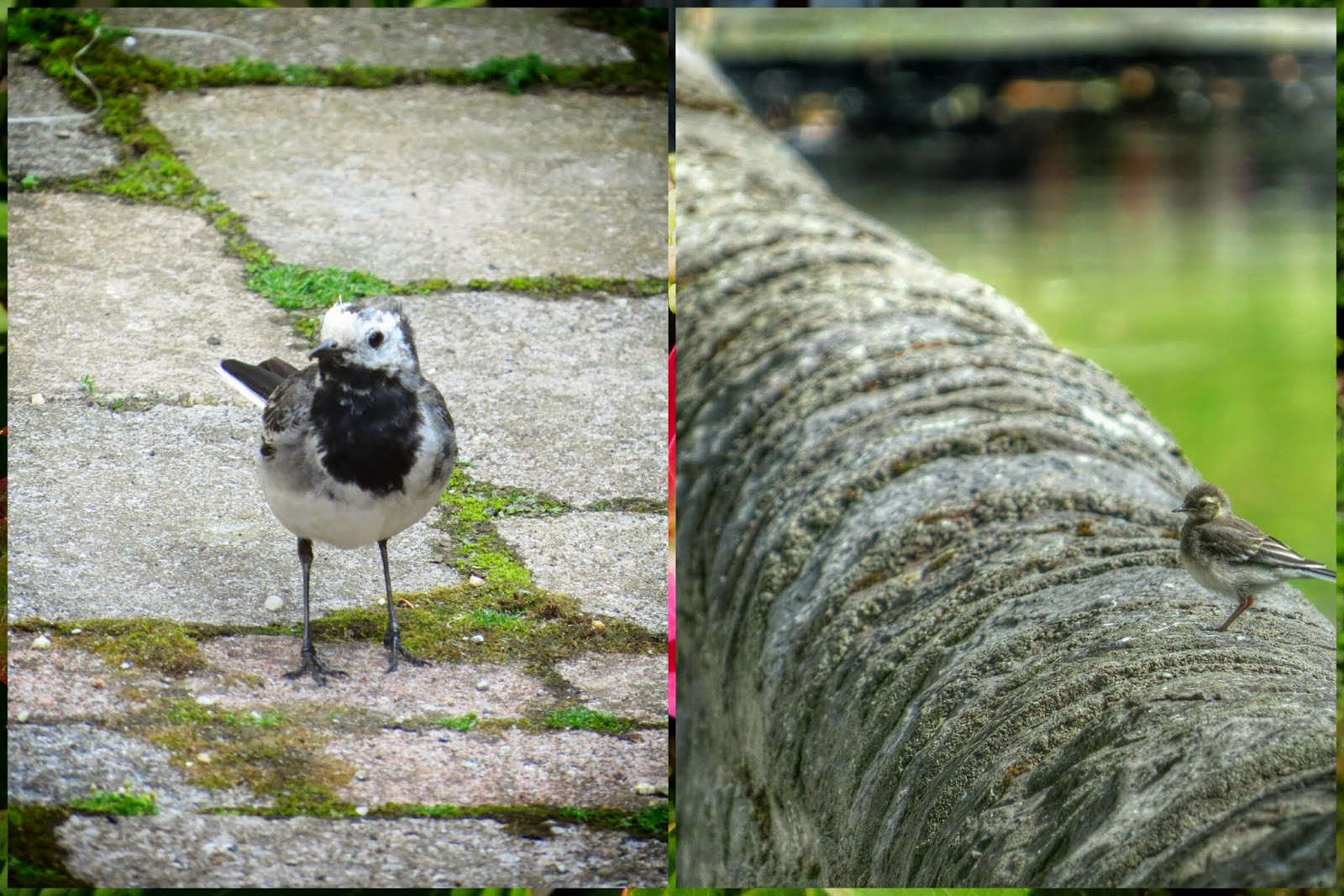 Pied Wagtail in Westport Ireland
