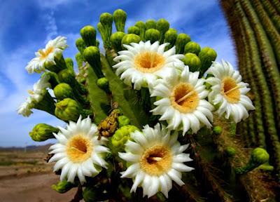 To The Sonoran Desert We Shall Go! | Mikki Senkarik |Saguaro Cactus Flowers