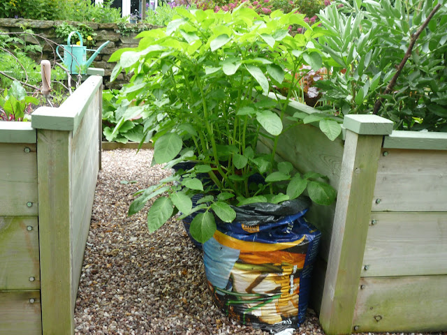 wooden raised beds growing potatoes in bags