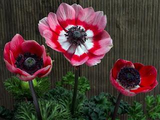 bunga anemon cantik