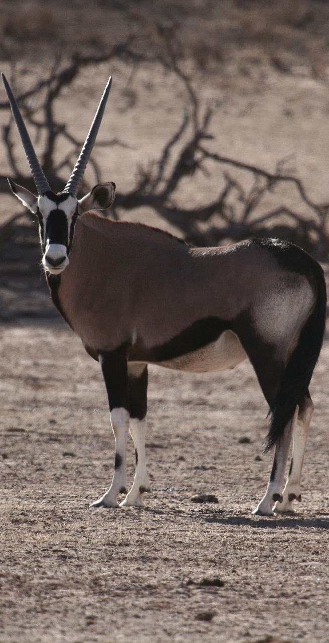 Picture of a gemsbok