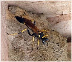 Lebah lumpur