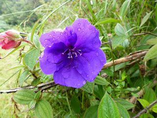 Tibouchina urvilleana - Tibouchine d'Urville - Fleur araignée