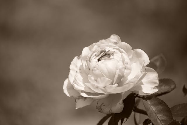 St. Swithun Rose, David Austin, rose, amy myers photography