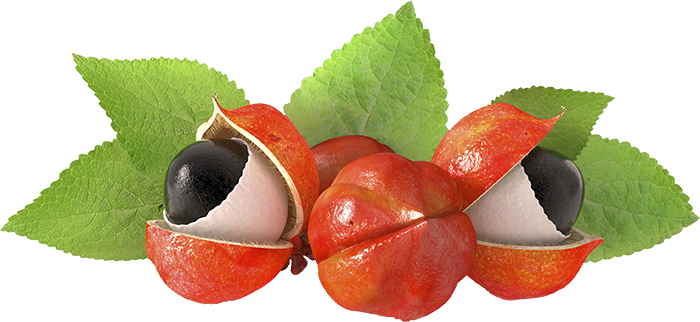 Guarana | Pharmacognosy & Herbal Medicine