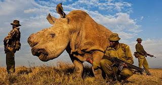 Υπό ένοπλη προστασία ο τελευταίος λευκός αρσενικός ρινόκερος του πλάνητη για να μην τον σκοτώσουν οι άνθρωποι