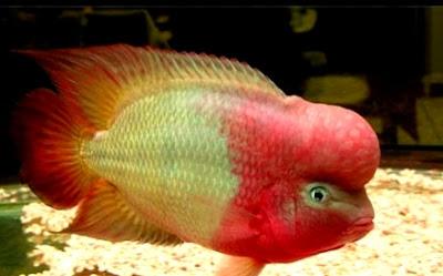 Harga dan gambar Ikan louhan golden red
