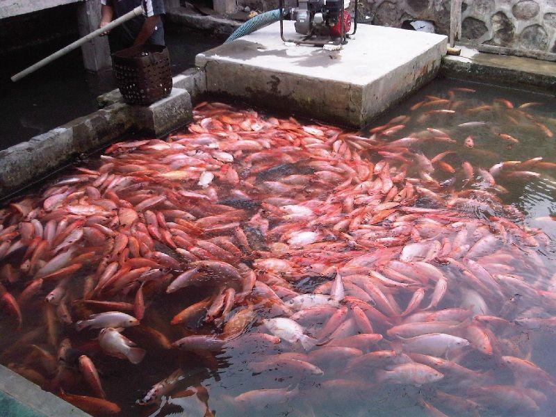 cara ternak ikan nila di kolam tanah