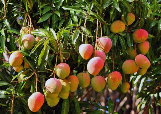 cara menanam mangga apel