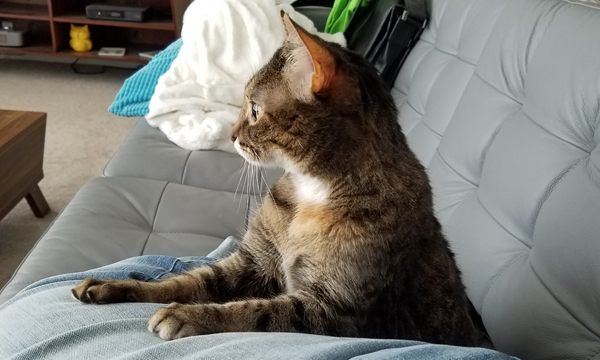 image of Sophie the Torbie Cat sitting beside me on the couch, her paws on my leg, looking alert at something out the window